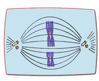 Meiose-Metaphase 1