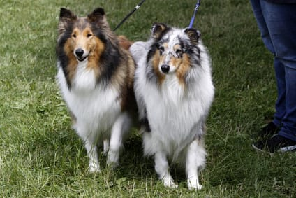 Langhaar Collie