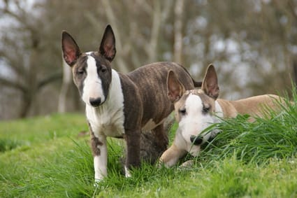 Vulnerable Native Breed Dogs Uk