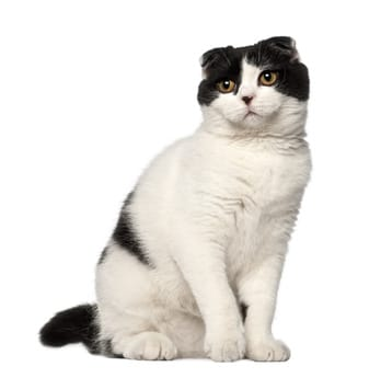 Scottish Fold Katze